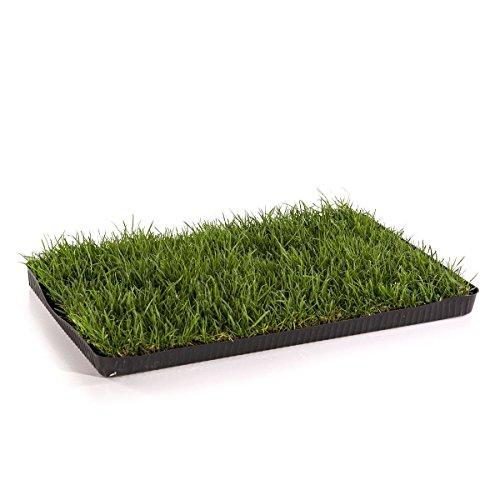 MIAU KATZENGRAS | 60x40cm echtes, saftiges Gras | sofort nutzbar - kein aussäen | kein Samen sondern echtes Gras | weiche, sanfte Grashalme statt scharfer Kanten | Katzengras gegen Haarballen | Spielwiese gegen Langeweile