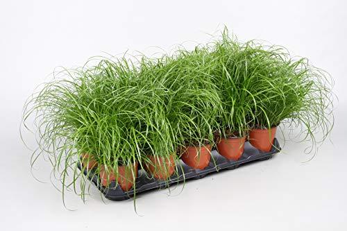 4 Töpfe | Katzengras Cyperus Zumula | Für Katzen | fertig gewachsen | Super Qualität | 12 cm Topf | Echtes Katzengras